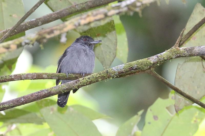 Plain-winged Antshrike / Batara de ala llana