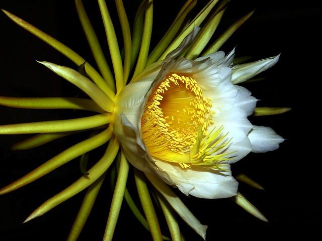 Dragonfruit  #18: FLOWER  #8  @ 7:59pm