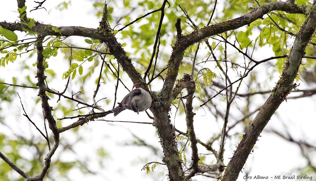 Pink-legged Graveteiro - Acrobata - Acrobatornis fonsecai