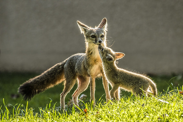 San Joaquin Kit Fox Kit & Mother--A Close Moment
