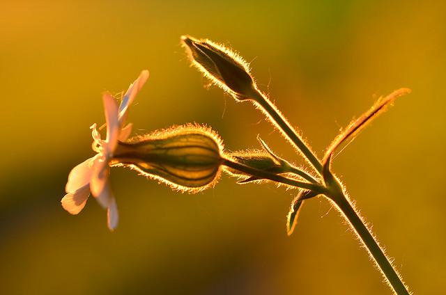 night-flowering-catchfly1