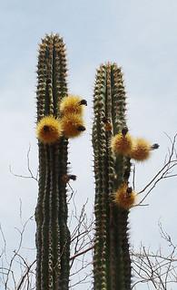 Pachycereus pectin-aboriginum