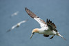 Gannet by Mister Oy