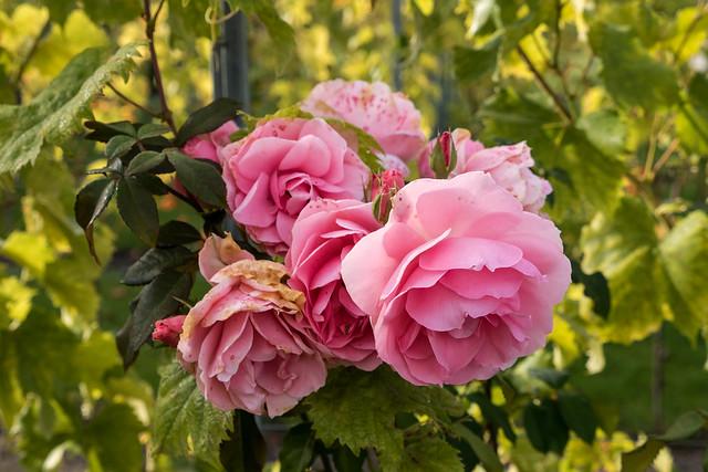 Havelberg, BUGA 2015: Rosen im Weingarten