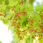 ヤマモミジ花 Maple flowers (Acer matsumurae)