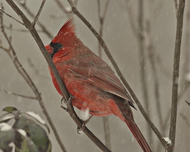 Northern Cardinal ..........