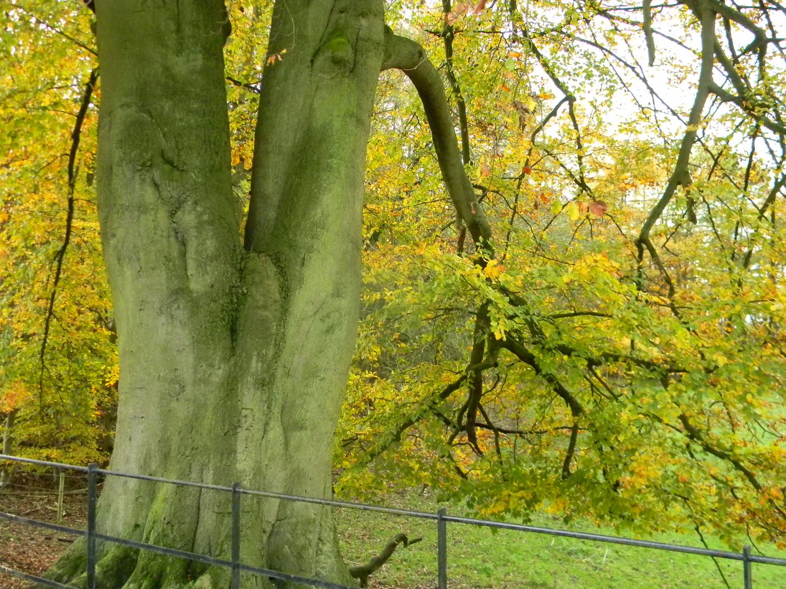Forked tree Merstham to Tattenham Corner
