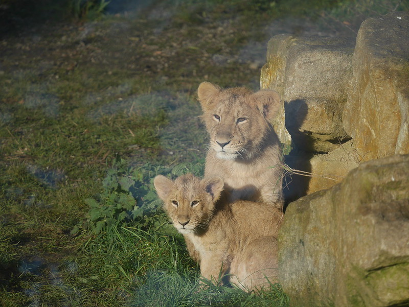 Two Asian Lion cubs