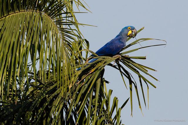 Arara Azul Grande (Pantanal, Brasil)