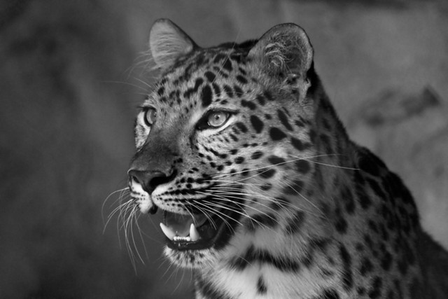 Project Flickr Week-9 Patterns: amur Leopard At the Audubon Zoo in New Orleans ~ EXPLORE