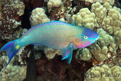 Palenose Parrotfish (Carus psittacus)