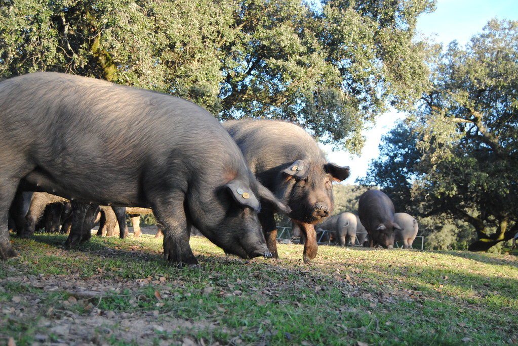 Cerdo ibérico en el campo | Cerdo ibérico por tierras extrem… | Flickr