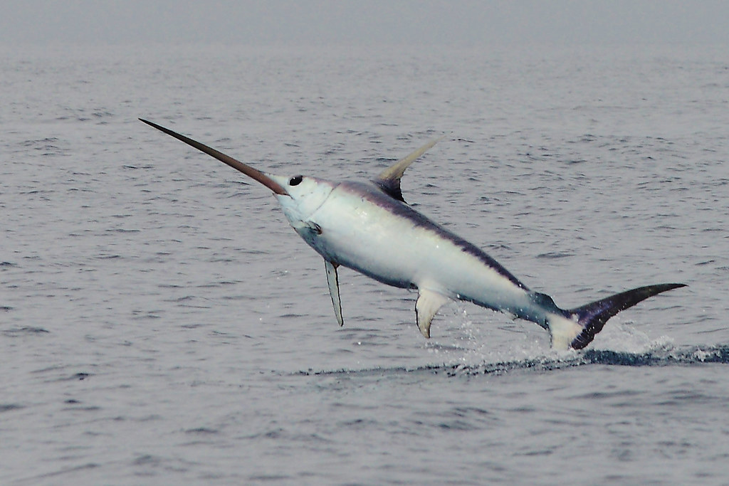 Swordfish (xiphias gladius) | I'd say the length of this swo… | Flickr