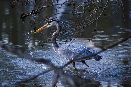 bird heron nature walk apex communitylake dougmall nikond5100