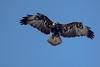 Aguila mora (Geranoaetus melanoleucos) by Ronai Rocha