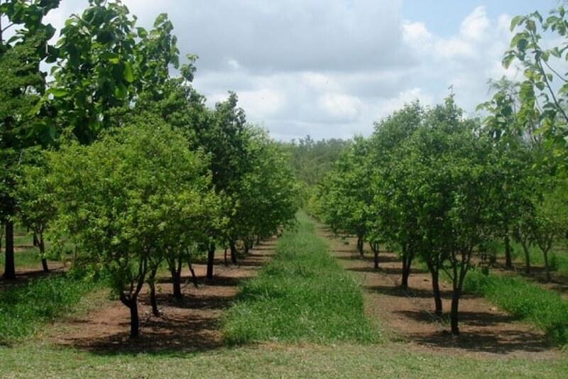 sandalwood plantation