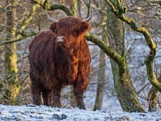 Scottish Highland Cow in the Snow | by David Alexander Elder