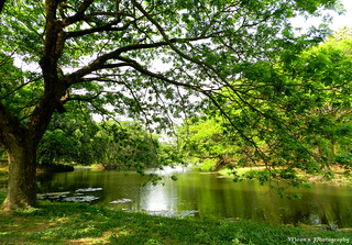 The tree by the pond - Botanical Garden, #Kolkata #BotanicalGarden #nature | by moon@footlooseforever.com
