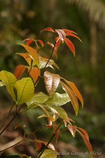 Foliage of Red Carabeen (Karrabina benthamiana) | by Tatters ✾