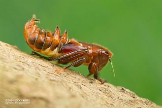 Leafhopper nymph (cf. Hylicinae) - DSC_3118