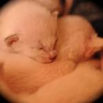 Bluebelle's kittens Dec 2014 Week One 7