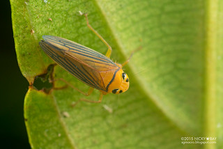 Leafhopper (Coelidiinae) - DSC_5805