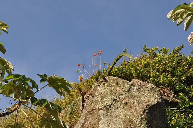 Epidendrum fulgens - IN SITU