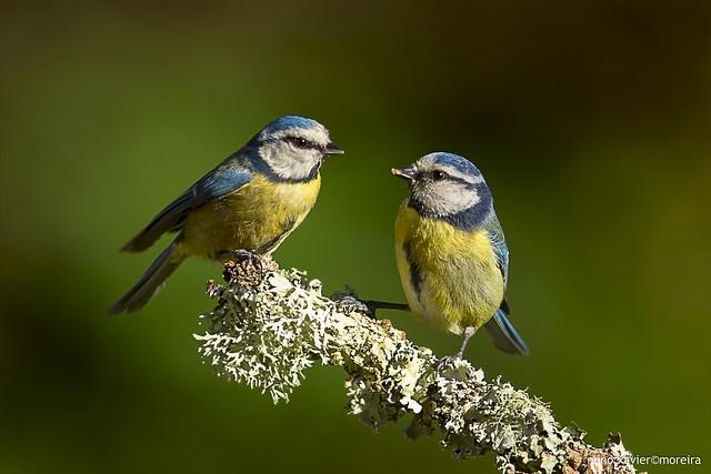 Chapim-azul, Blue Tit (Parus caeruleus)