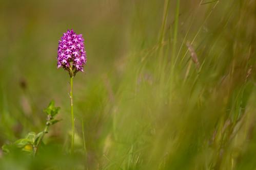 meadow pyramidalorchid yorkshirewildlifetrust brockadale