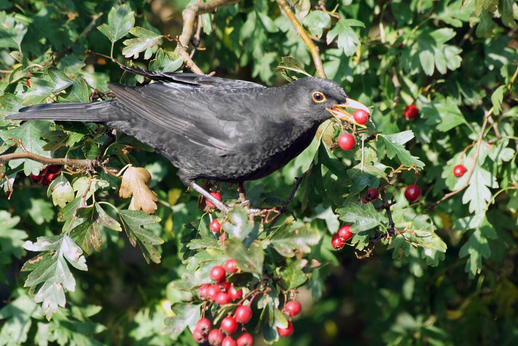 Blackbird (Turdus merula) Eating Berries, Martin Mere, November 2014