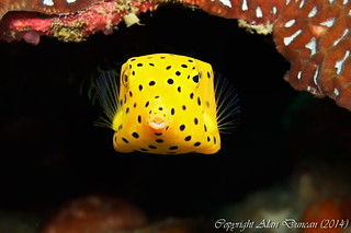 A tiny juvenile Yellow Boxfish peers out from its hiding place at Sail Rock, Koh Phangan, Thailand