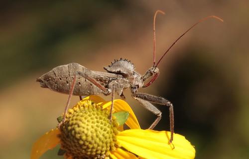 Wheel Bug | by DrPhotoMoto