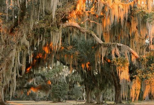statepark autumn trees sunset lana nature catchycolors louisiana liveoak spanishmoss mandeville gramlich tillandsiausneoides quercusvirginiana sttammanyparish fontainebleaustatepark lanagramlich nov212014