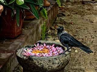 Sarras Hotel. Jaffna. Raven.