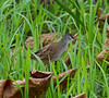 White Browed Crake (Amaurornis (Porzana) cinerea).01 by Geoff Whalan