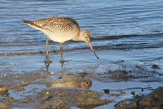 Bar-tailed Godwit | by Linda Bushman