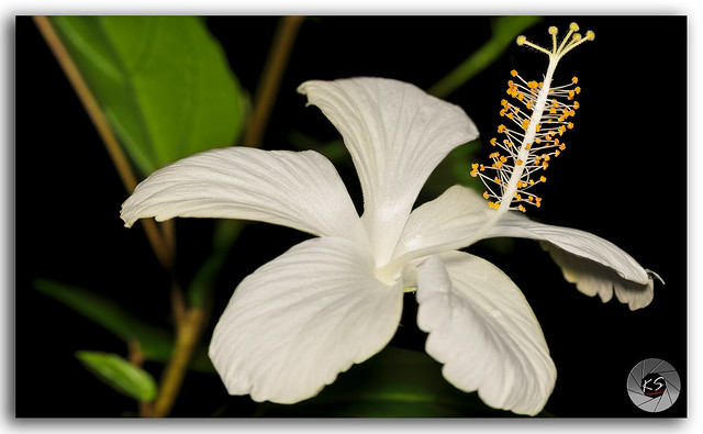 Closeup of a beautiful tropical white color shoe flower Hibiscus