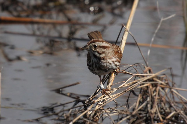 Tagged Song Sparrow