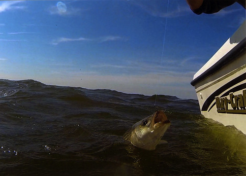 Photo of striped bass being hooked