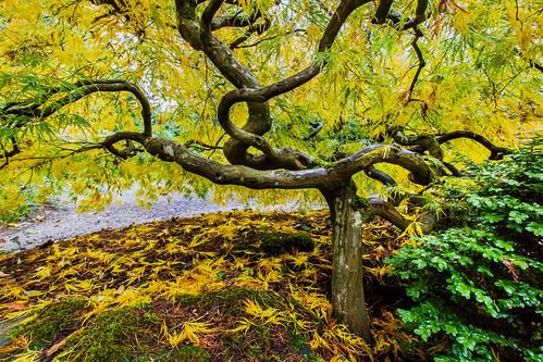tree yellow momijigari autumncolors japanesemaple kubotagarden
