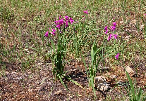Kreta - Crete - Chochlakies - Umland - Blumen