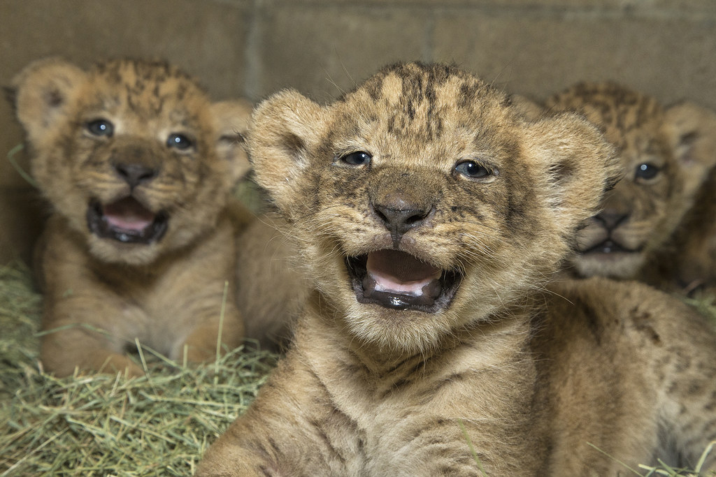 Lion Laughs Www Sdzsafaripark Org San Diego Zoo Flickr