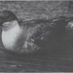 Great Shearwater. GMNH 5667. Washington County, 14 July 1997. Photo by Lynn Schlup