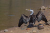 Pied Cormorant by R. Francis