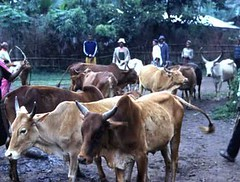Ter, 20/01/2015 - 04:16 - Species name: Cattle (photo credit: ILRI).
