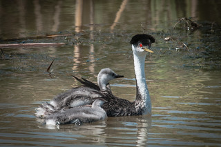 Western Grebe and chicks | by USFWS Mountain Prairie