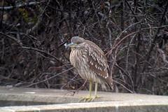 Black-crowned Night-Heron, Red Hill Creek, Hamilton, ON