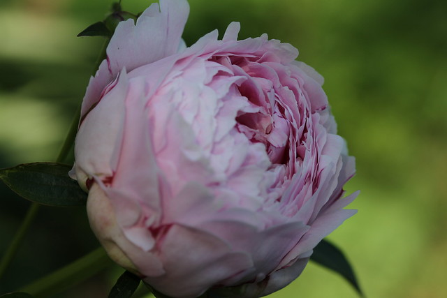 Pink peony about to bloom