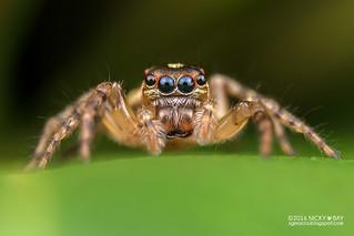 Jumping spider (Pristobaeus sp.) - DSC_2392
