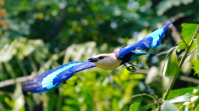 Blue Bellied Roller In Flight